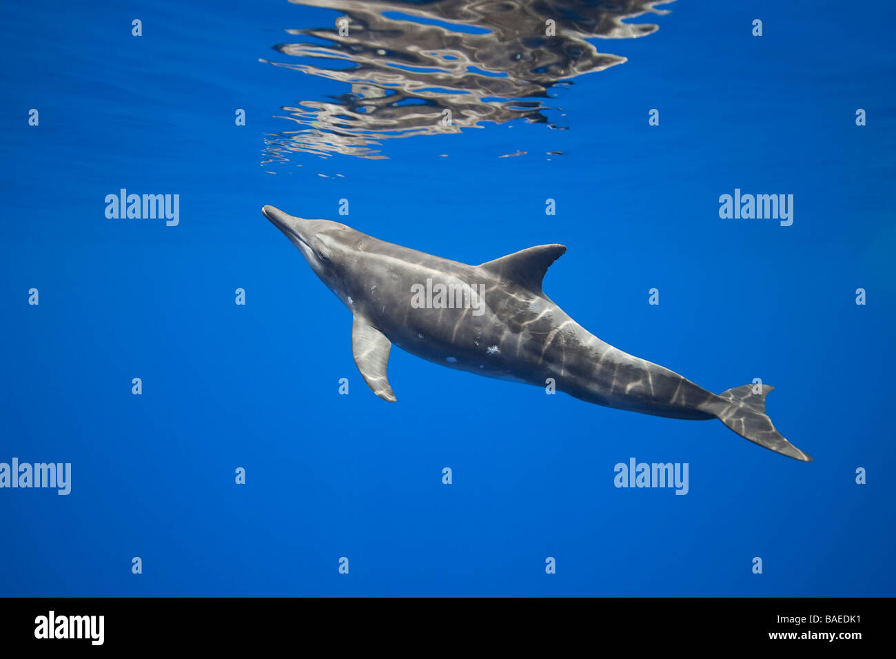 rough-toothed dolphin, Steno bredanensis, approaching surface to breathe, Kona Coast, Big Island, Hawaii, Pacific - Stock Image