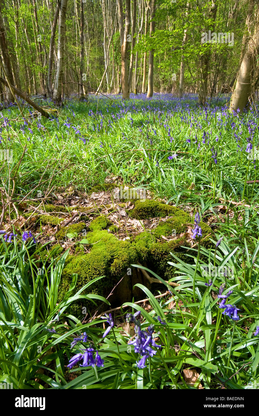 A carpet of bluebells cover the floor of an area of English woodland with a moss covered tree stump in the foreground Stock Photo