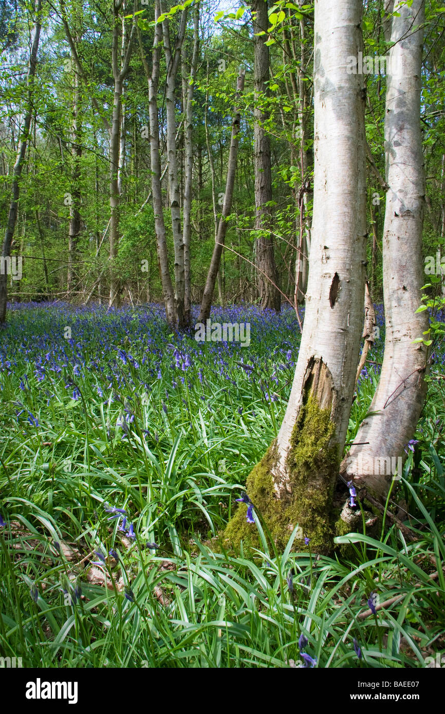 A carpet of bluebells cover the floor of an area of woodland with a silver birch tree in the foreground Stock Photo