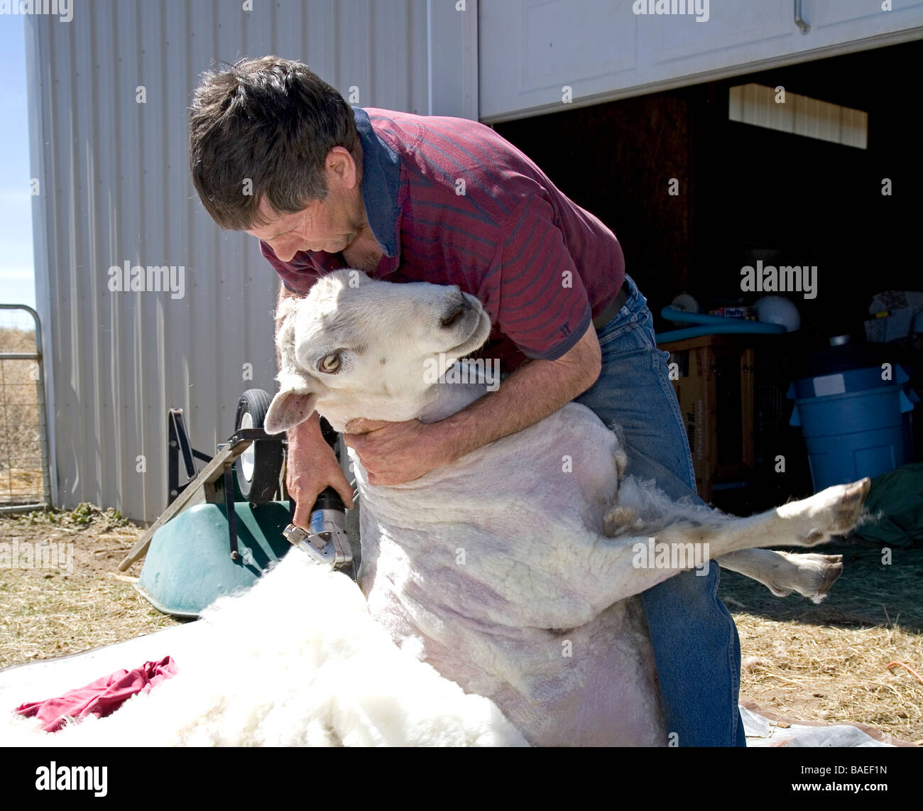 USA OREGON A sheep shearer shears the wool from a large sheep on a farm near Bend Oregon in the spring. sheep shearing. - Stock Image