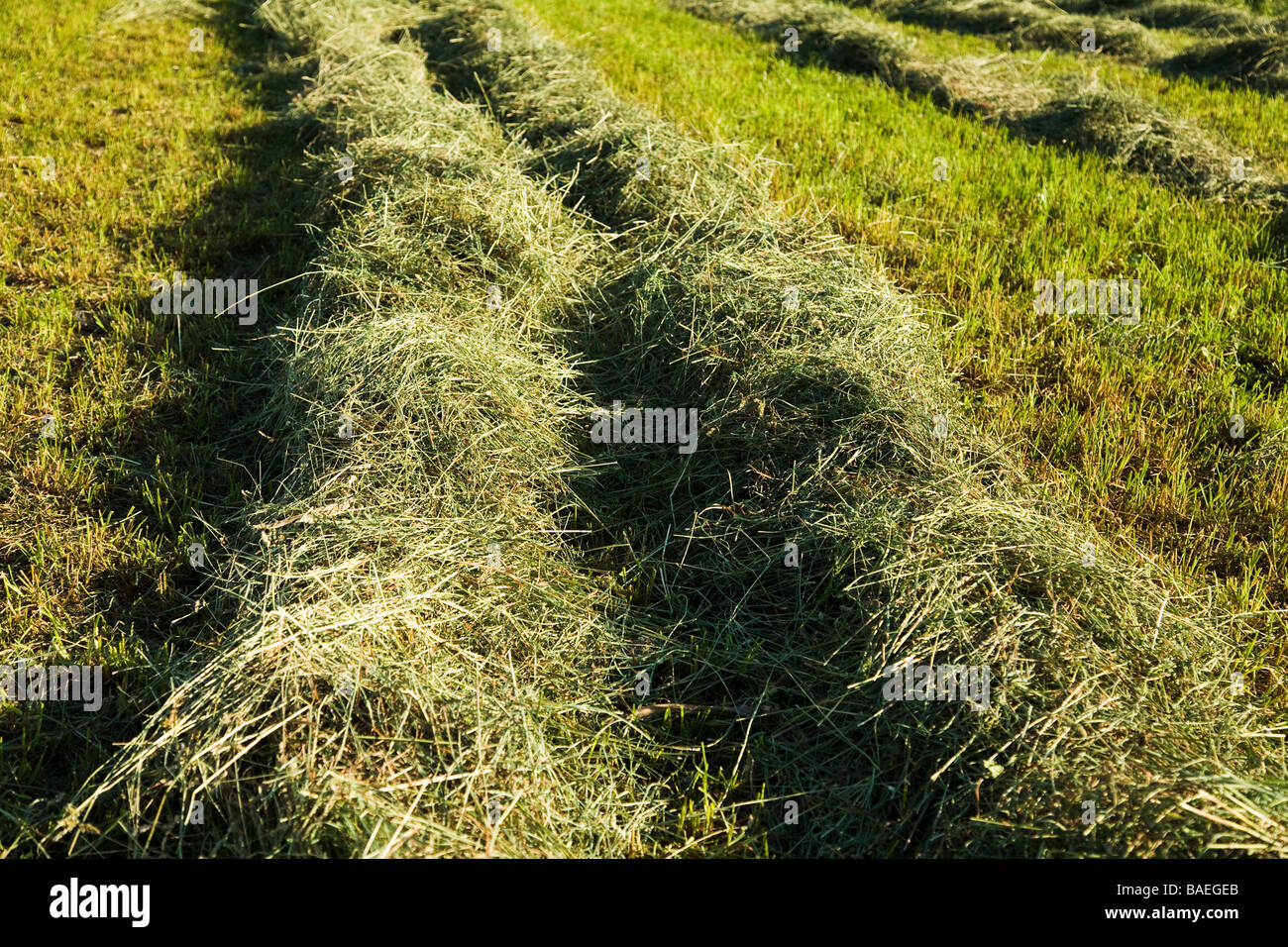 ILLINOIS DeKalb Freshly mowed hay raked into rows in agricultural field - Stock Image