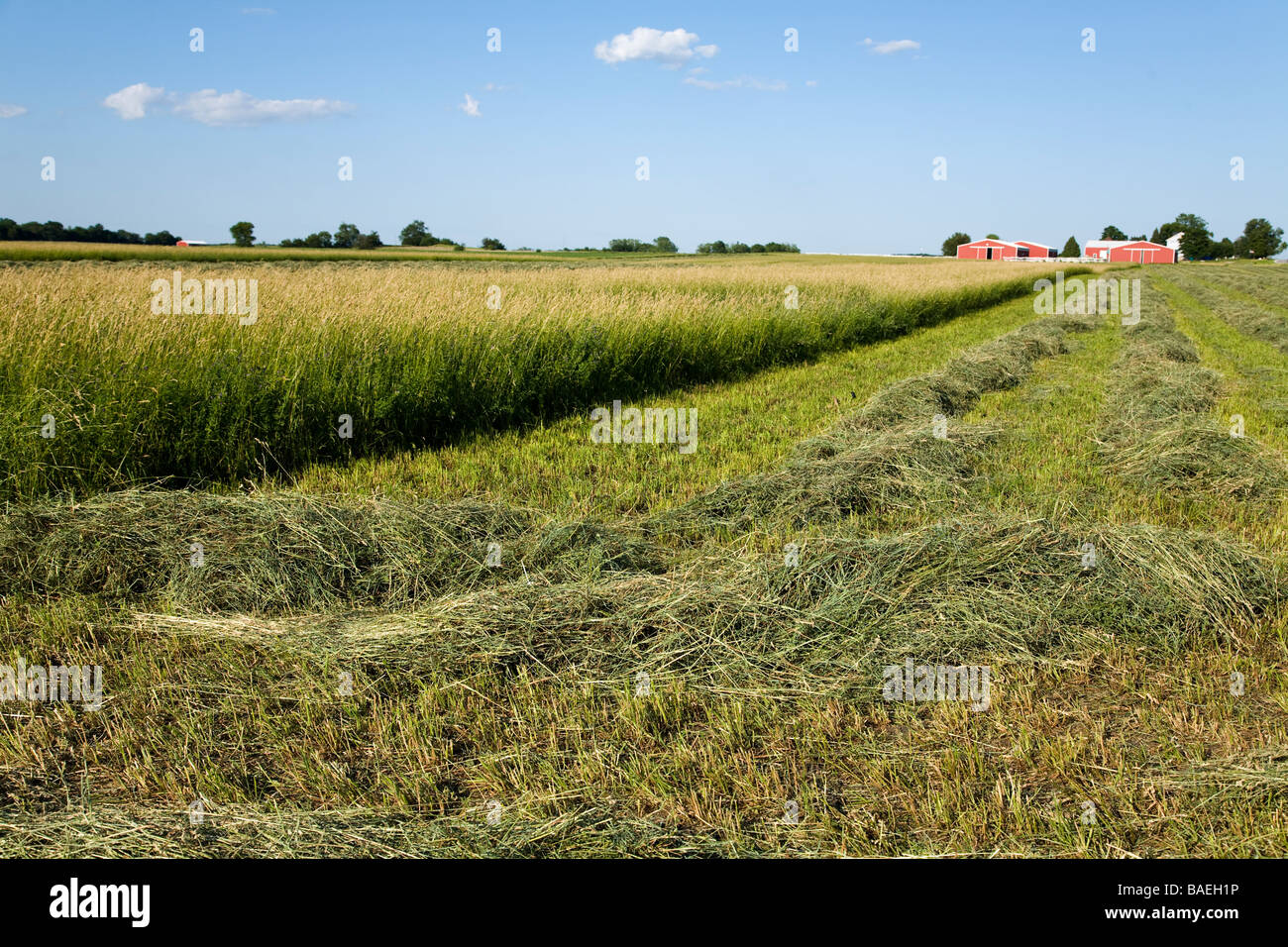 ILLINOIS DeKalb Freshly mowed hay raked into rows in agricultural field farm buildings in background - Stock Image