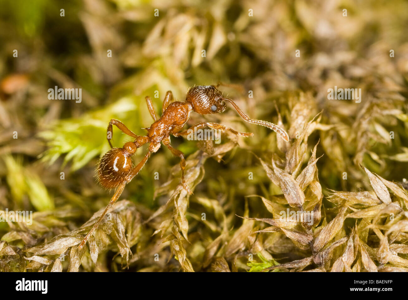 Red ant (Formicidae: Myrmica rubra), with a parasitic mite on its hind leg, walking on moss - Stock Image