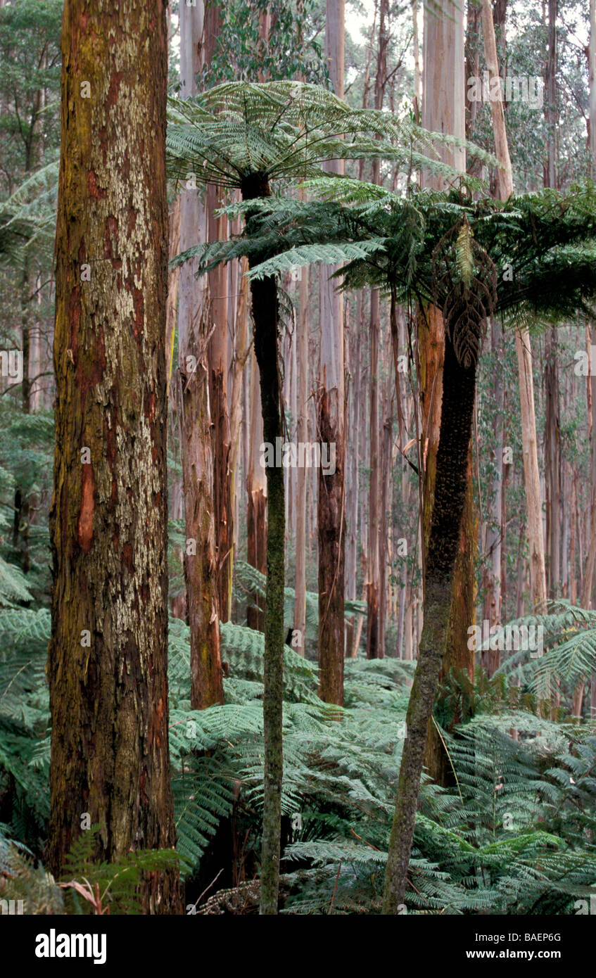 Mountain Ash Forest and Rough Tree Ferns Yarra Ranges National Park Victoria Australia - Stock Image