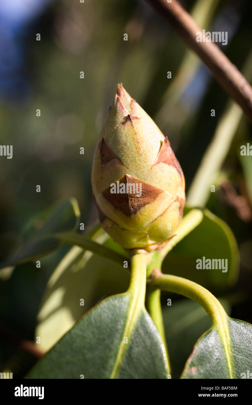 bud,rhododendron,flower,plant,flora,spring,bursting - Stock Image