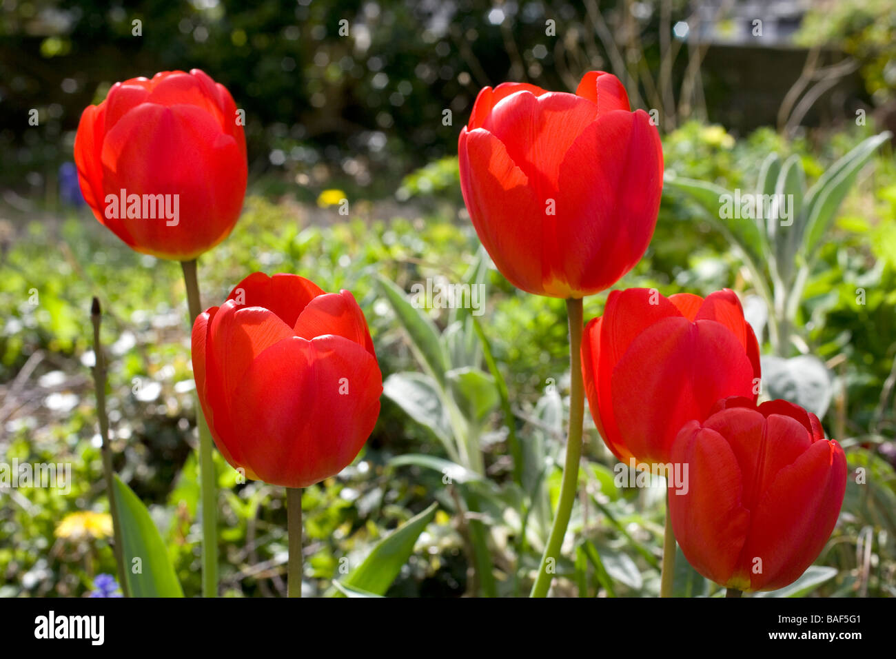 tulip,tulips,flower,flowers,red,flora,botany,botanic - Stock Image
