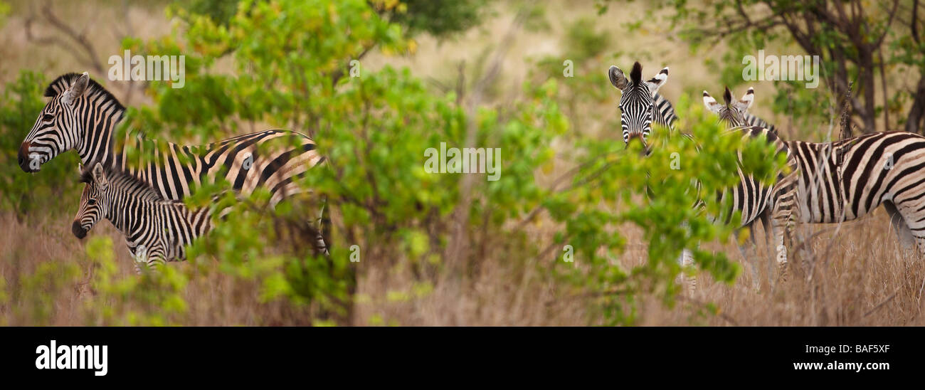 a group of zebra with a foal, Kruger National Park, South Africa - Stock Image