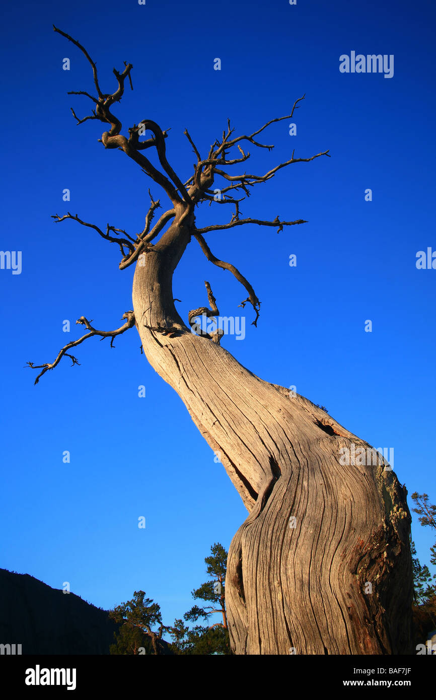 Dry old pine tree in evening light at Måfjell in Nissedal, Telemark fylke, Norway. - Stock Image