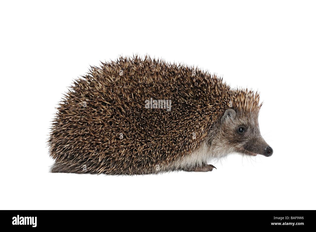 Hedgehog Erinaceus Europaeus Stock Photo