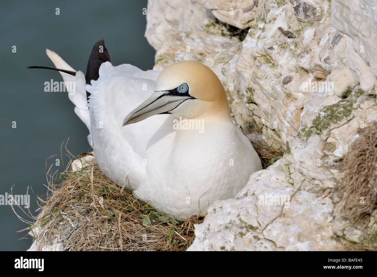 Gannet. Sula bassana. incubating nest at Bempton Cliffs. Yorkshire. French: Fou de Bassan German: Basstölpel - Stock Image