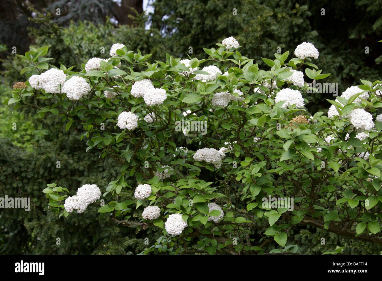 Cayuga Viburnum aka Fragrant Snowball, Viburnum carlcephalum, Adoxaceae - Stock Image