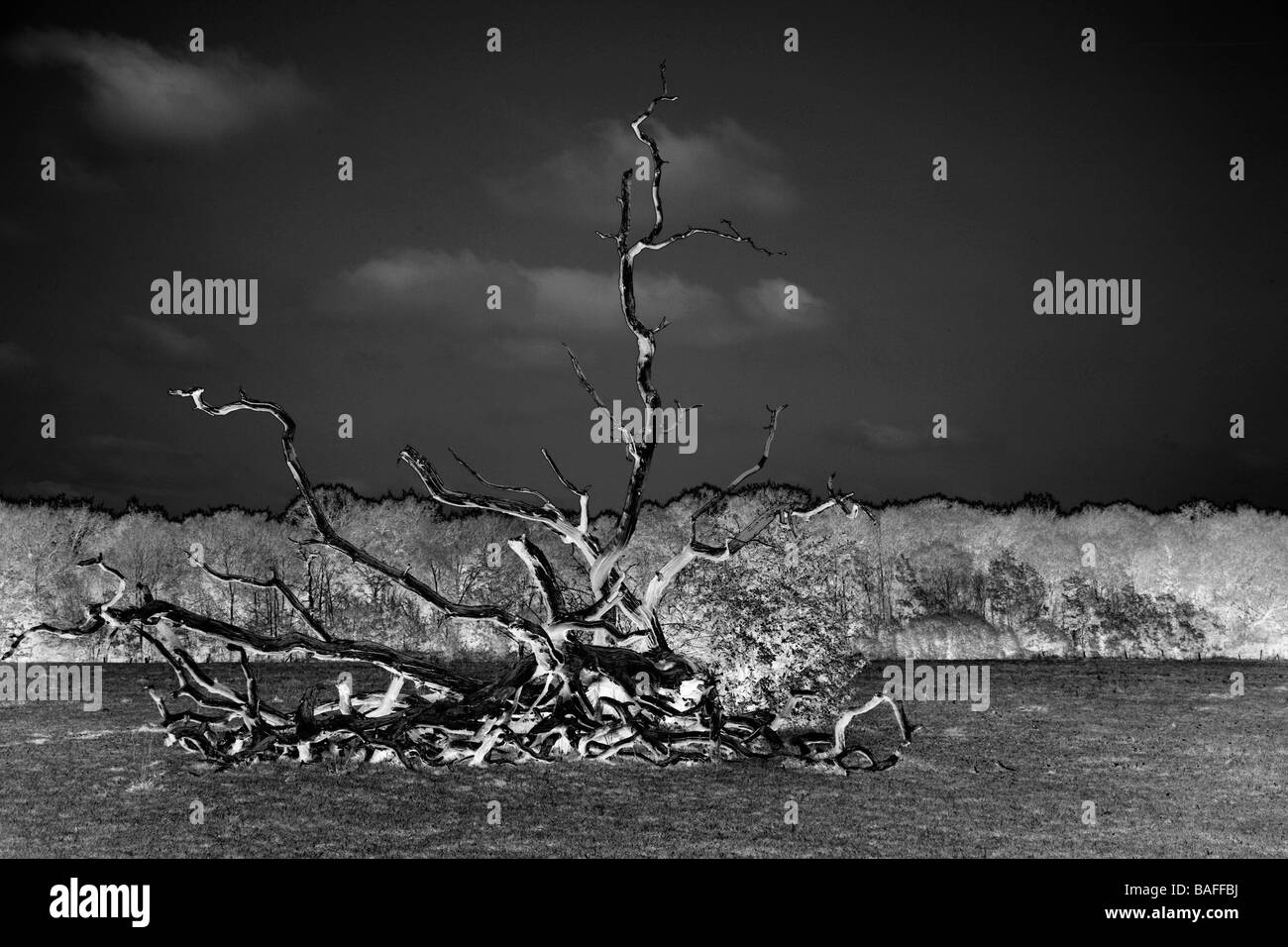 A surreal image of a fallen dead tree in a field. - Stock Image