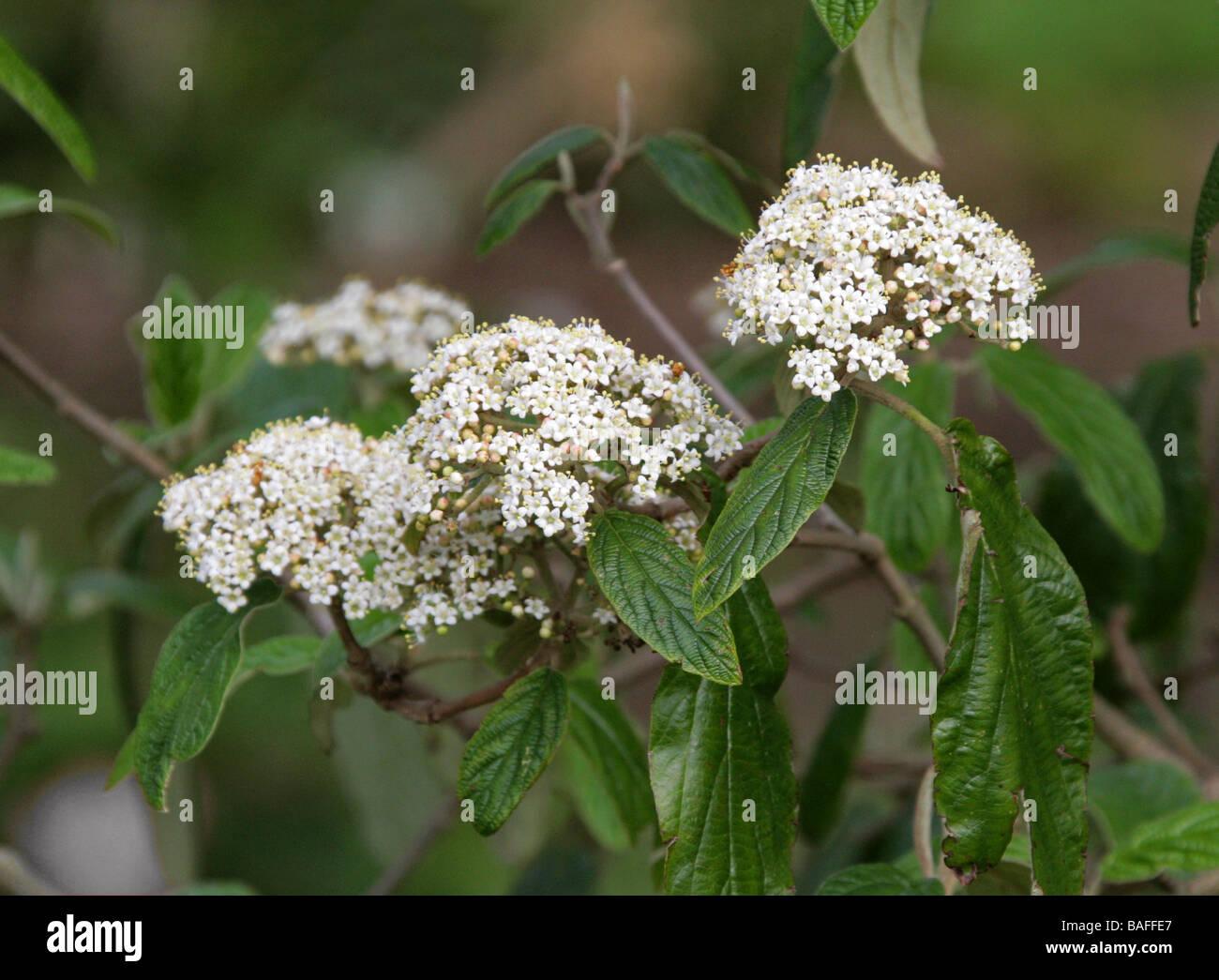 Leatherleaf Viburnum, Viburnum rhytidophyllum, Adoxaceae - Stock Image