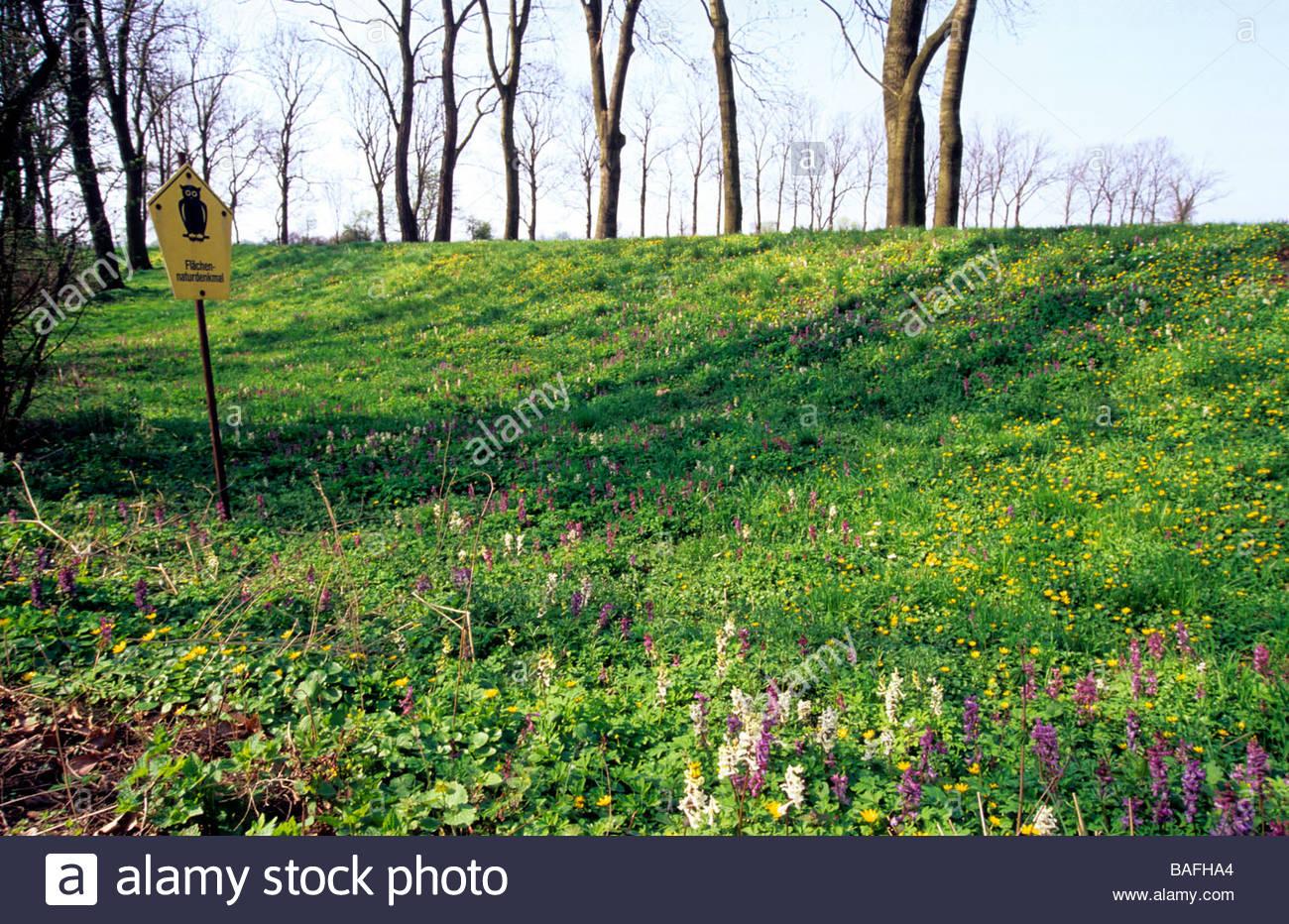 Flowering corydalis in nature reserve near Torgau Germany Blühender Lerchensporn in Flächennaturdenkmal nähe Torgau Stock Photo