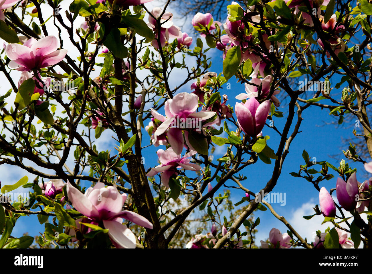 Large pink flowers on magnolia tree stock photo 23701727 alamy large pink flowers on magnolia tree mightylinksfo