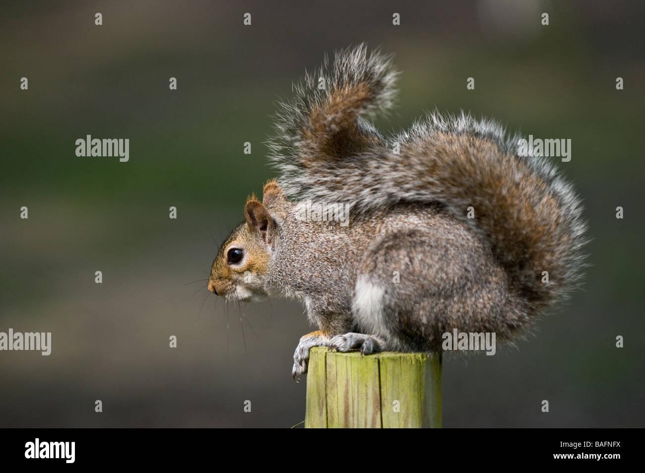 A Grey Squirrel - Sciurus caroliniensis. - Stock Image