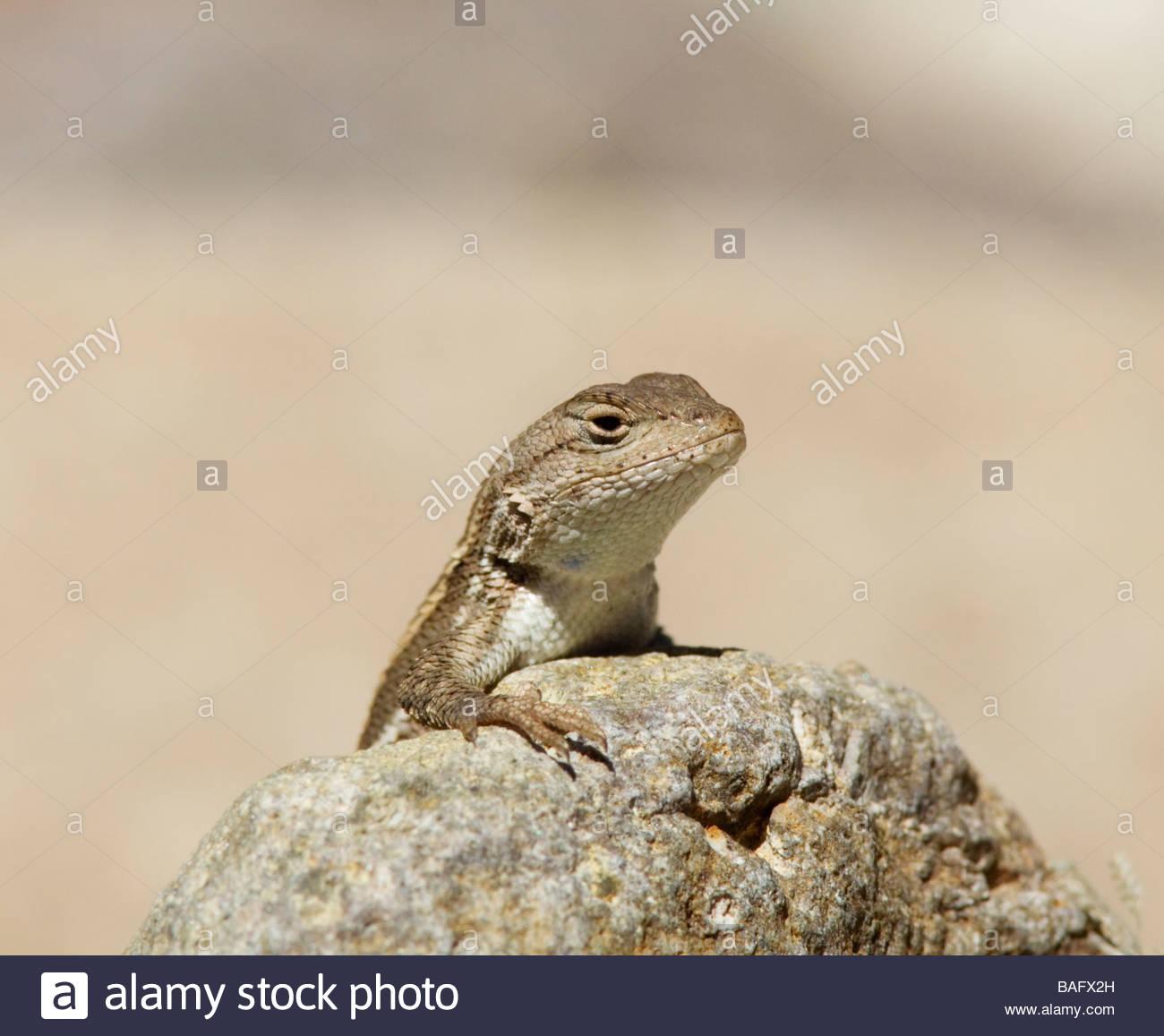 Striped Plateau Lizard Sceloporus virgatus peering over rock throat showing note blue spot Stock Photo