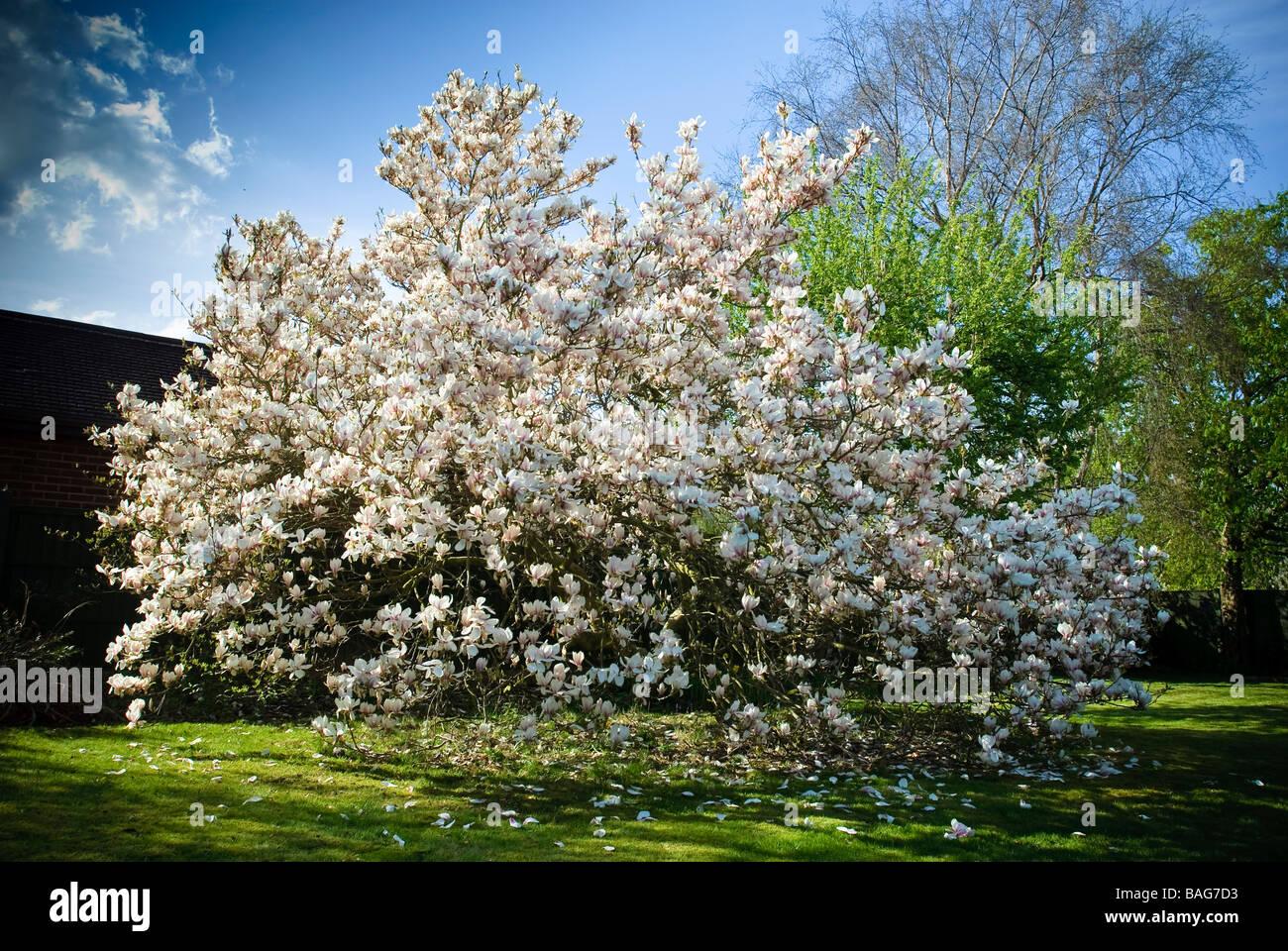 Magnolia Tree In Full Bloom Stock Photos Magnolia Tree In Full