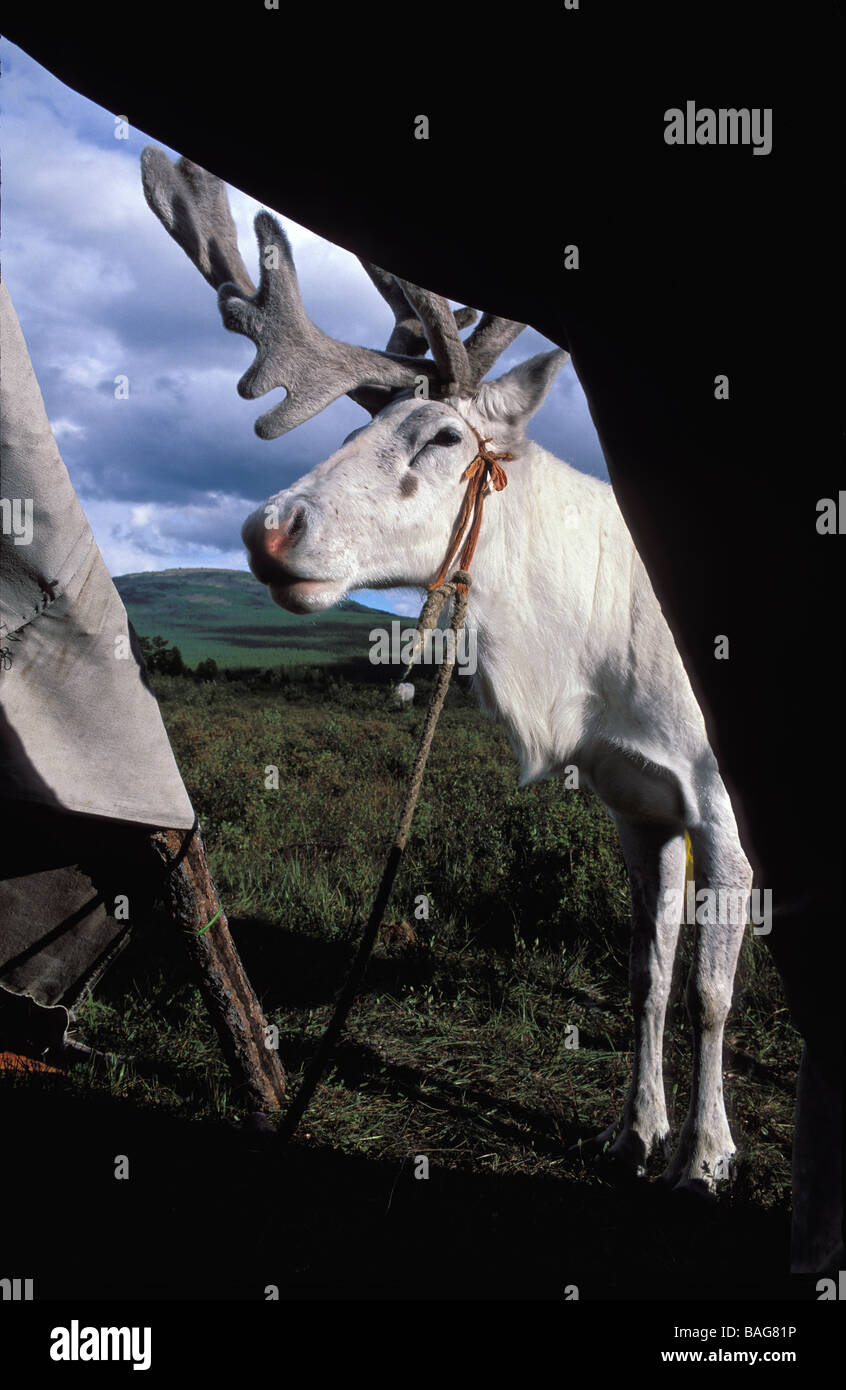 Mongolia, Khovsgol Province, red taiga, domesticated reindeer in front of the alaju (traditional tepee) - Stock Image