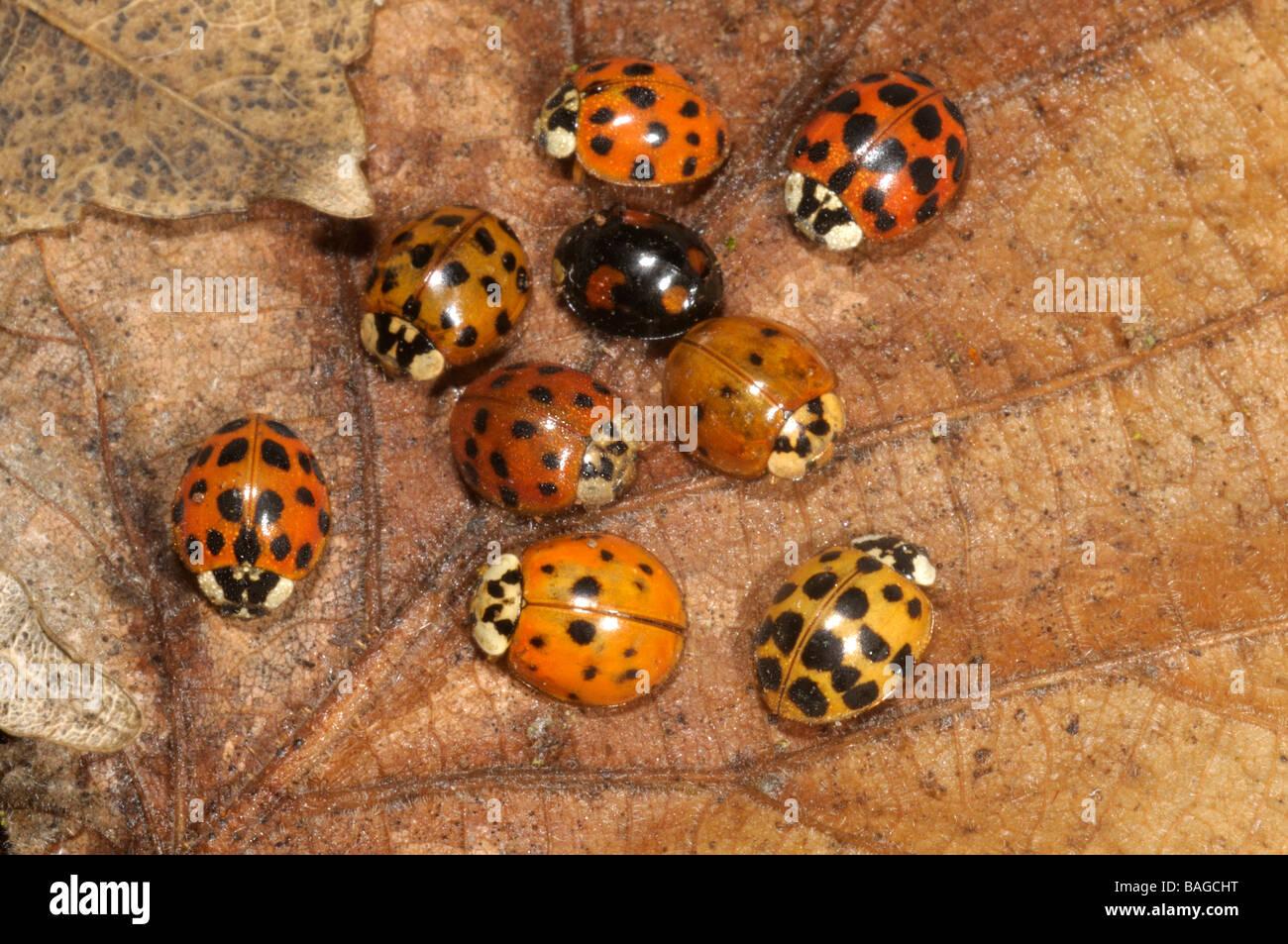 Asian Lady Beetle (Harmonia axyridis), beetles hibernating under dry leaves in winter - Stock Image