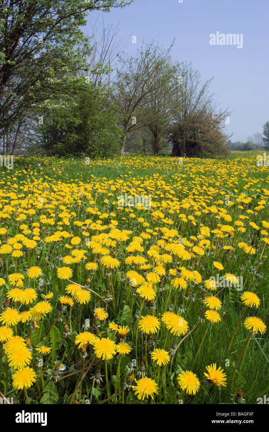 Mass of Dandelions (Taraxacum). Surrey, UK - Stock Image