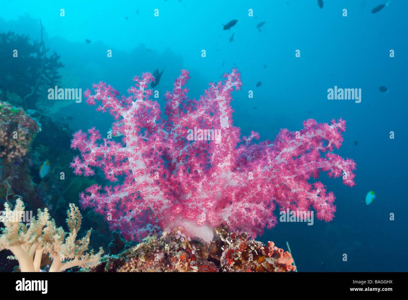 Pink Soft Coral Dendronephthya Peleliu Wall Micronesia Palau Stock Photo