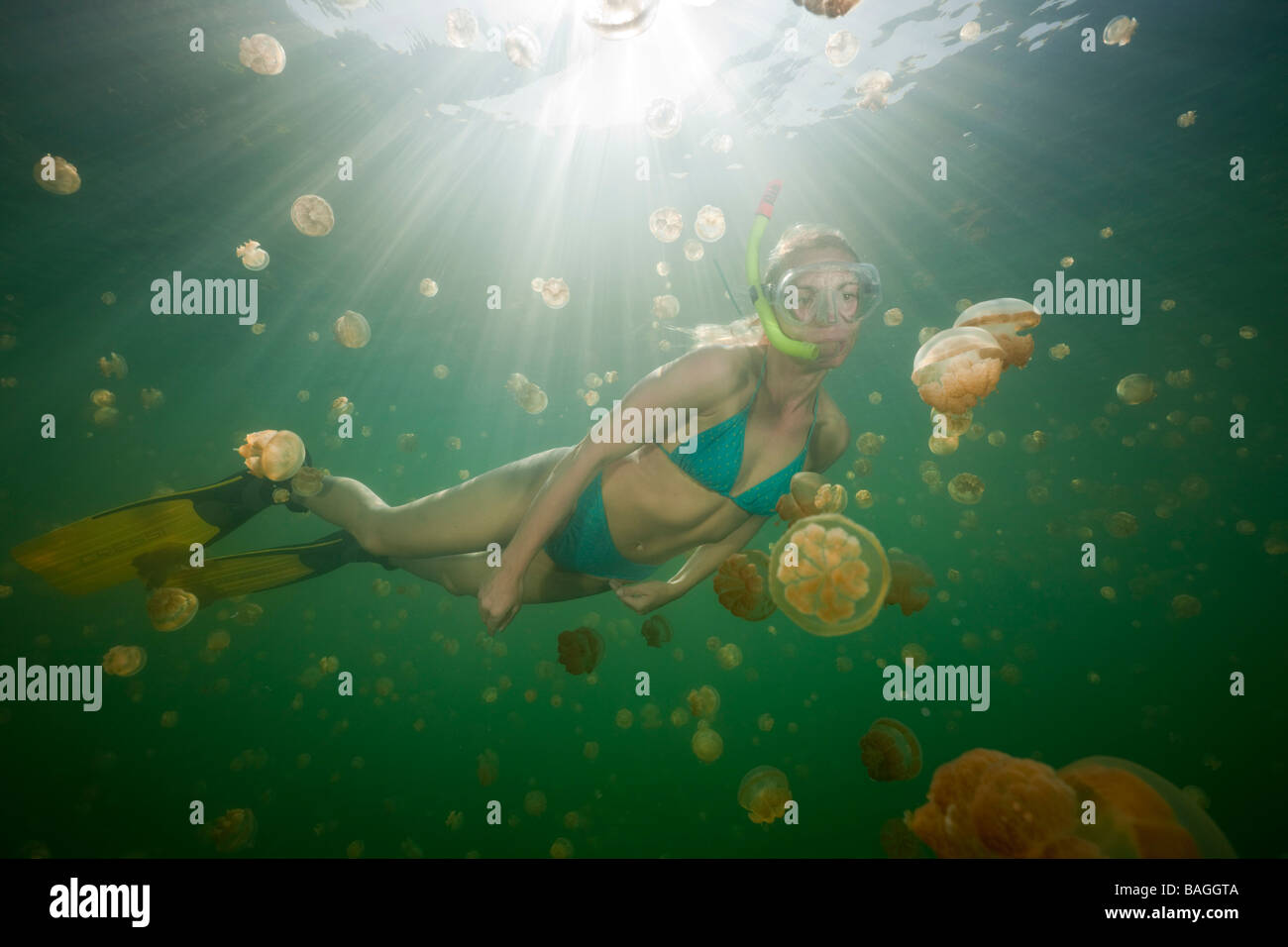 Swimming with harmless Jellyfishes Mastigias papua etpisonii Jellyfish Lake Micronesia Palau - Stock Image