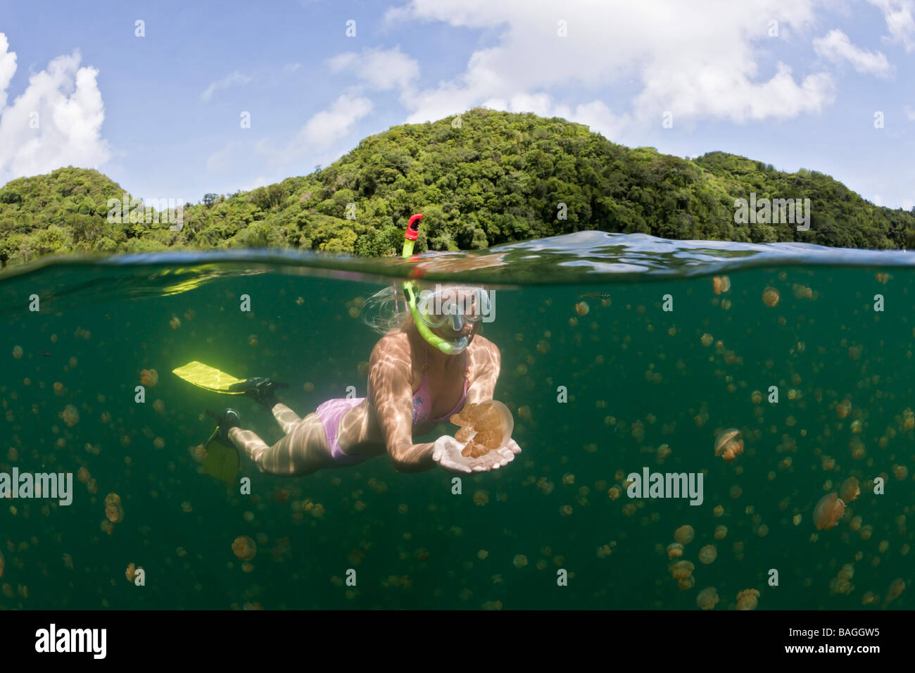 Skin Diving with harmless Jellyfish Mastigias papua etpisonii Jellyfish Lake Micronesia Palau - Stock Image