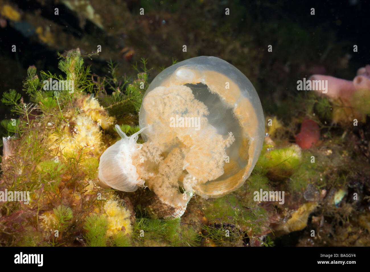 Anemone feed Jellyfish Entacmaea medusivora Mastigias papua etpisonii Jellyfish Lake Micronesia Palau - Stock Image