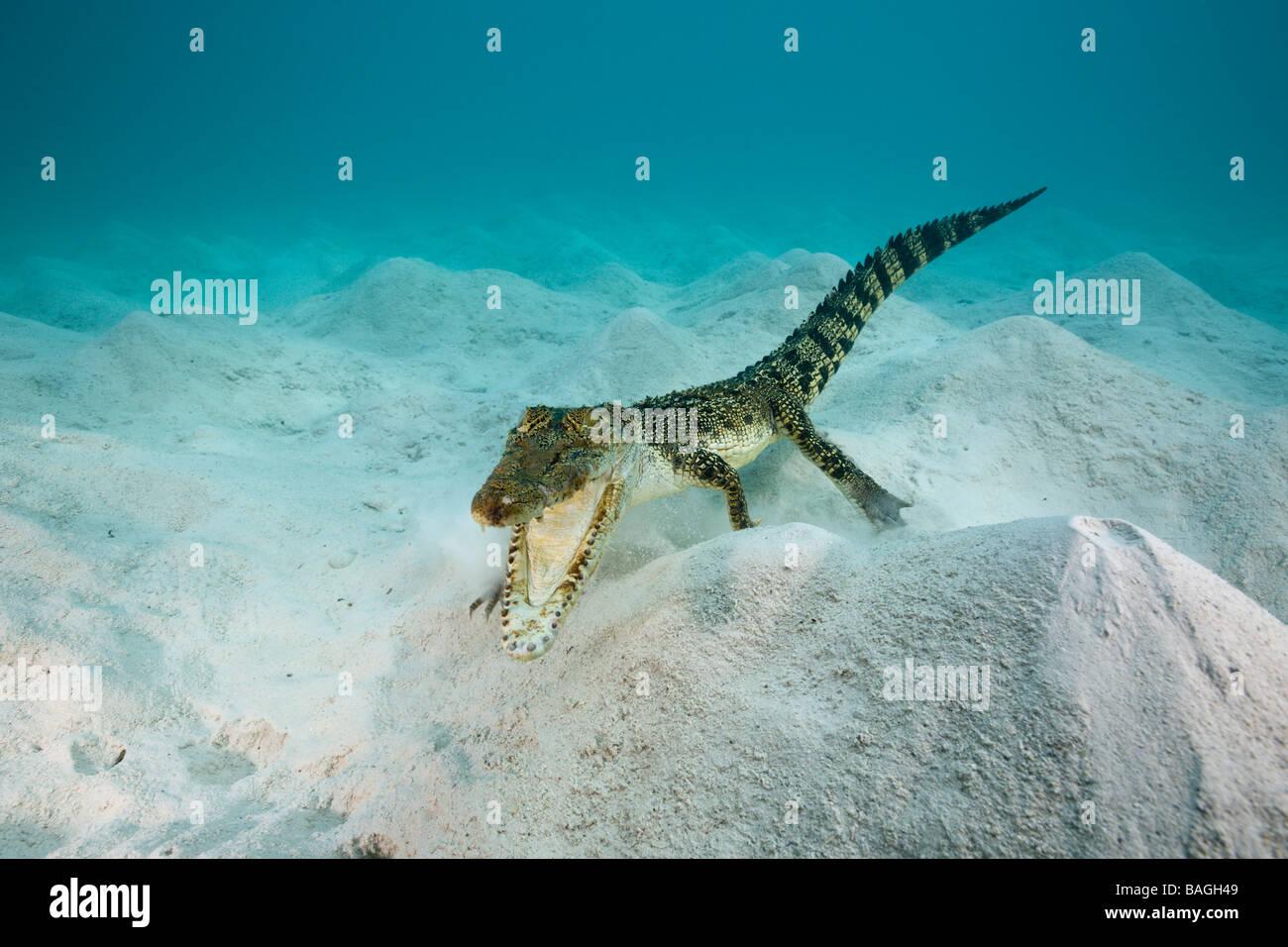 Saltwater Crocodile Crocodylus porosus Micronesia Palau Stock Photo