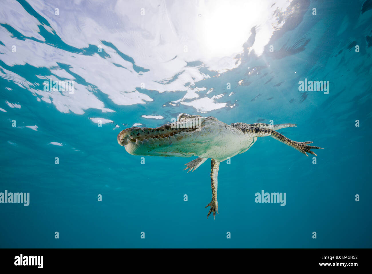 Saltwater Crocodile Crocodylus porosus Micronesia Palau - Stock Image