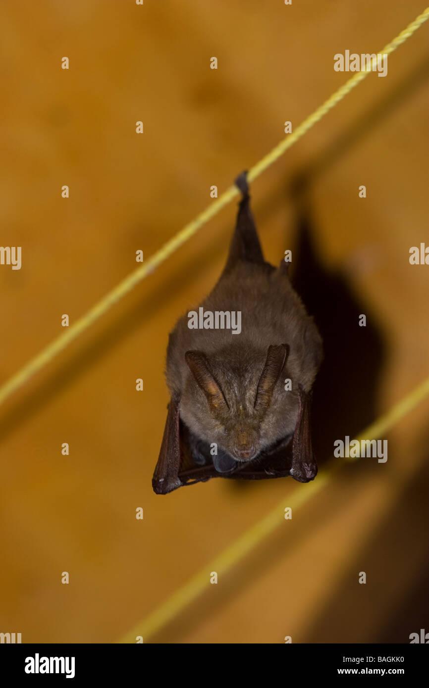 Bat hanging upside down - Stock Image