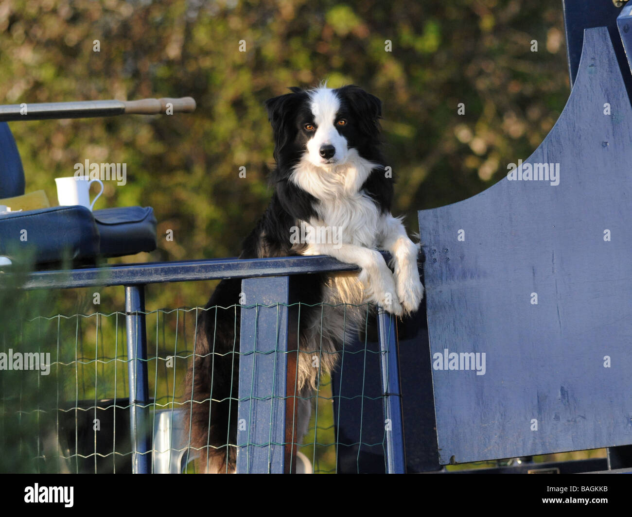 A dog that lives on a canal boat. - Stock Image