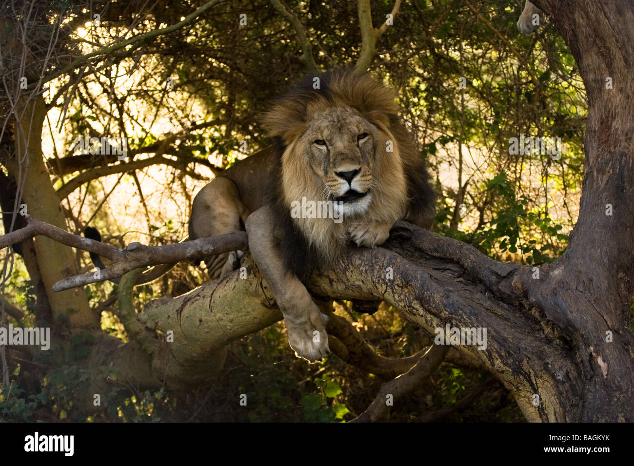 Lion in tree Stock Photo