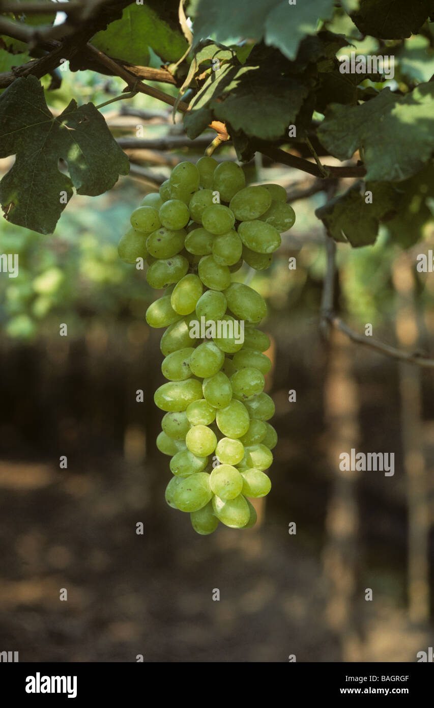 Mature table grapes on vines across raised beds and irrigation canals in Central Thailand - Stock Image