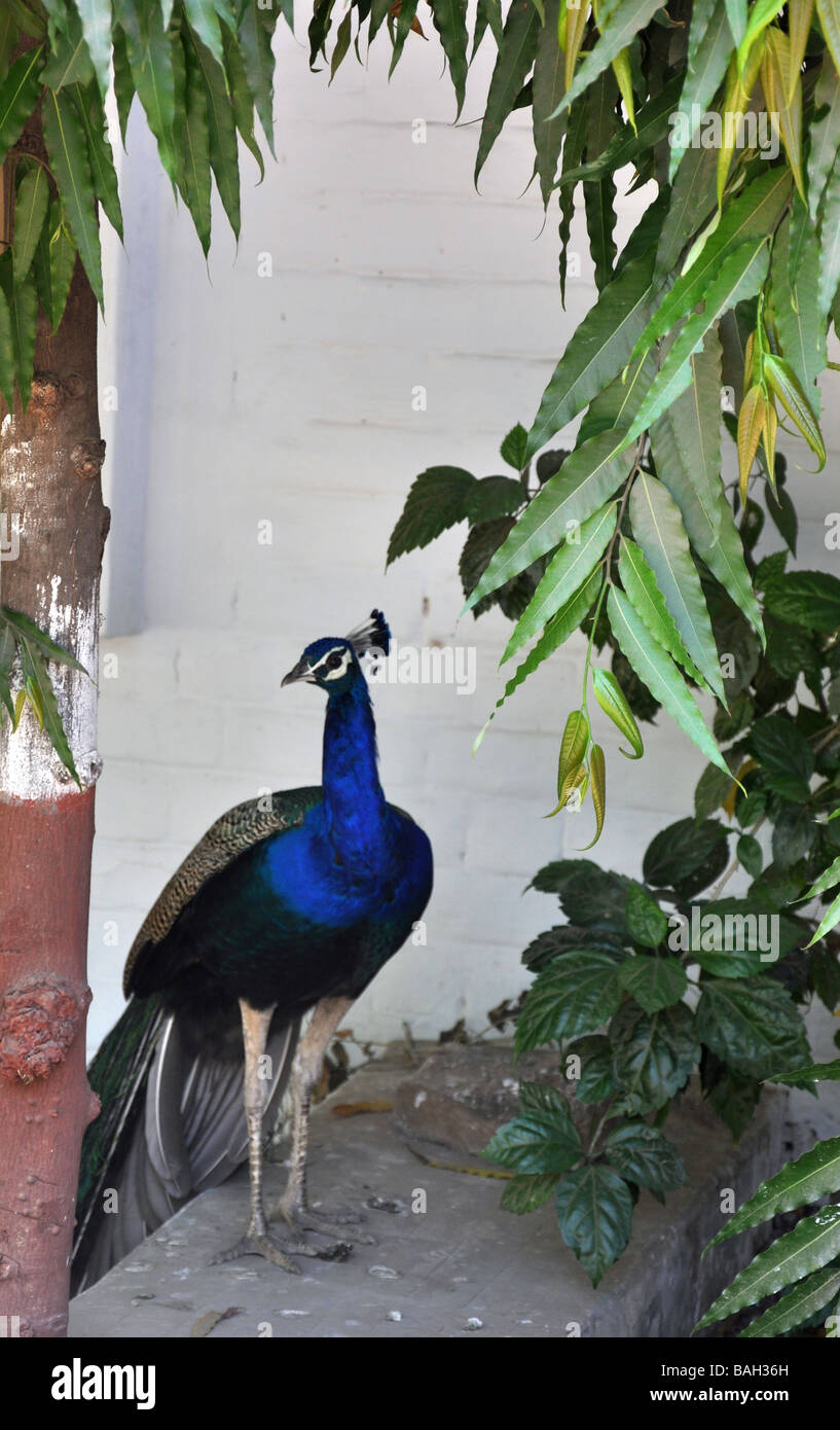 A Strolling Peacock in an Industrial Unit in Ahmedabad, Gujarat, India - Stock Image