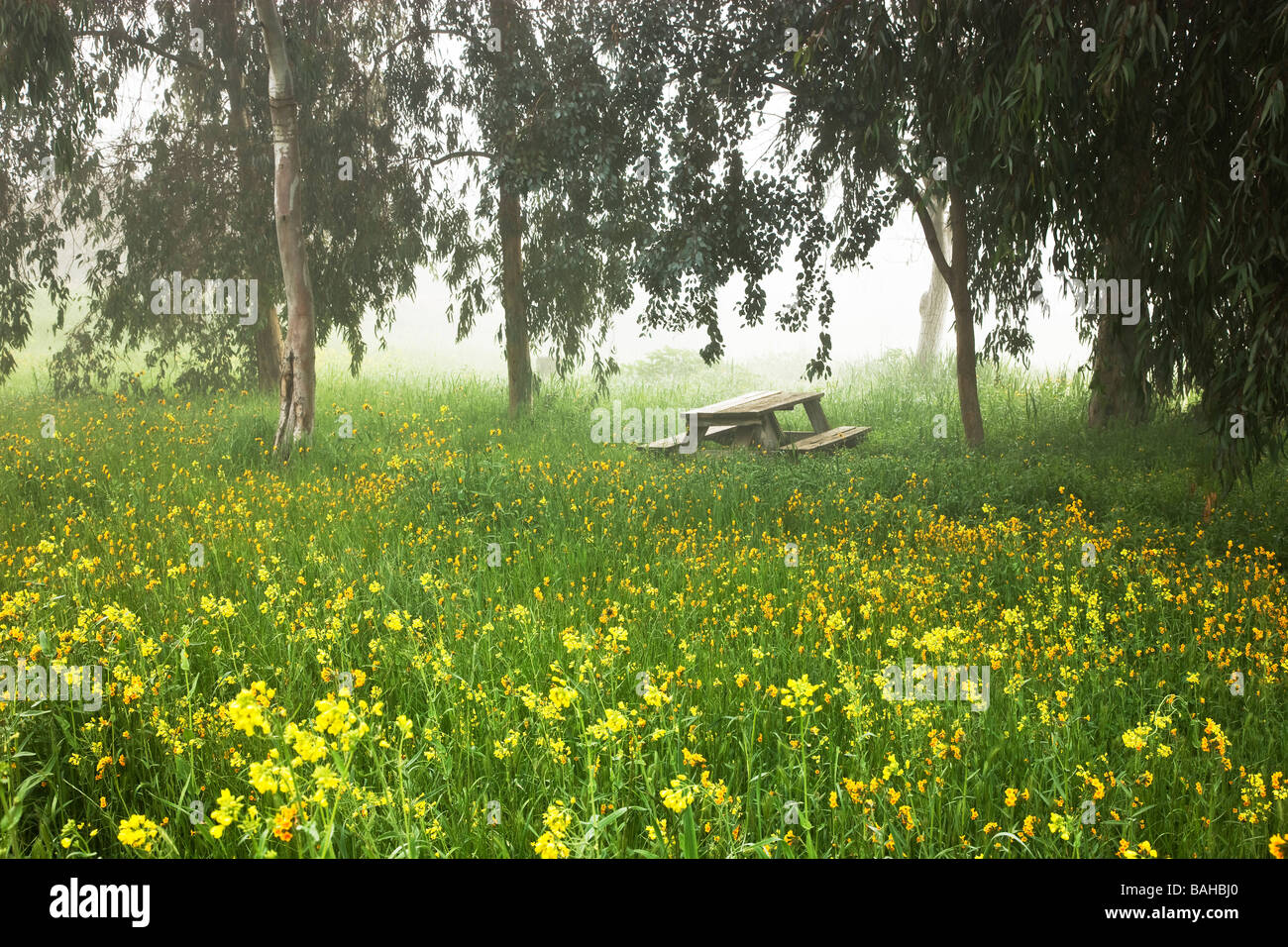 Eucalyptus trees, foggy meadow, Mustard & Fiddleneck wildflowers, empty picnic table. Stock Photo