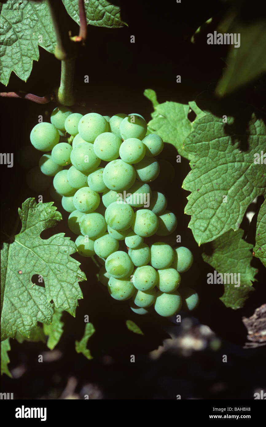 Immature young grapes on a grapevine in the Bordeaux Region of France - Stock Image