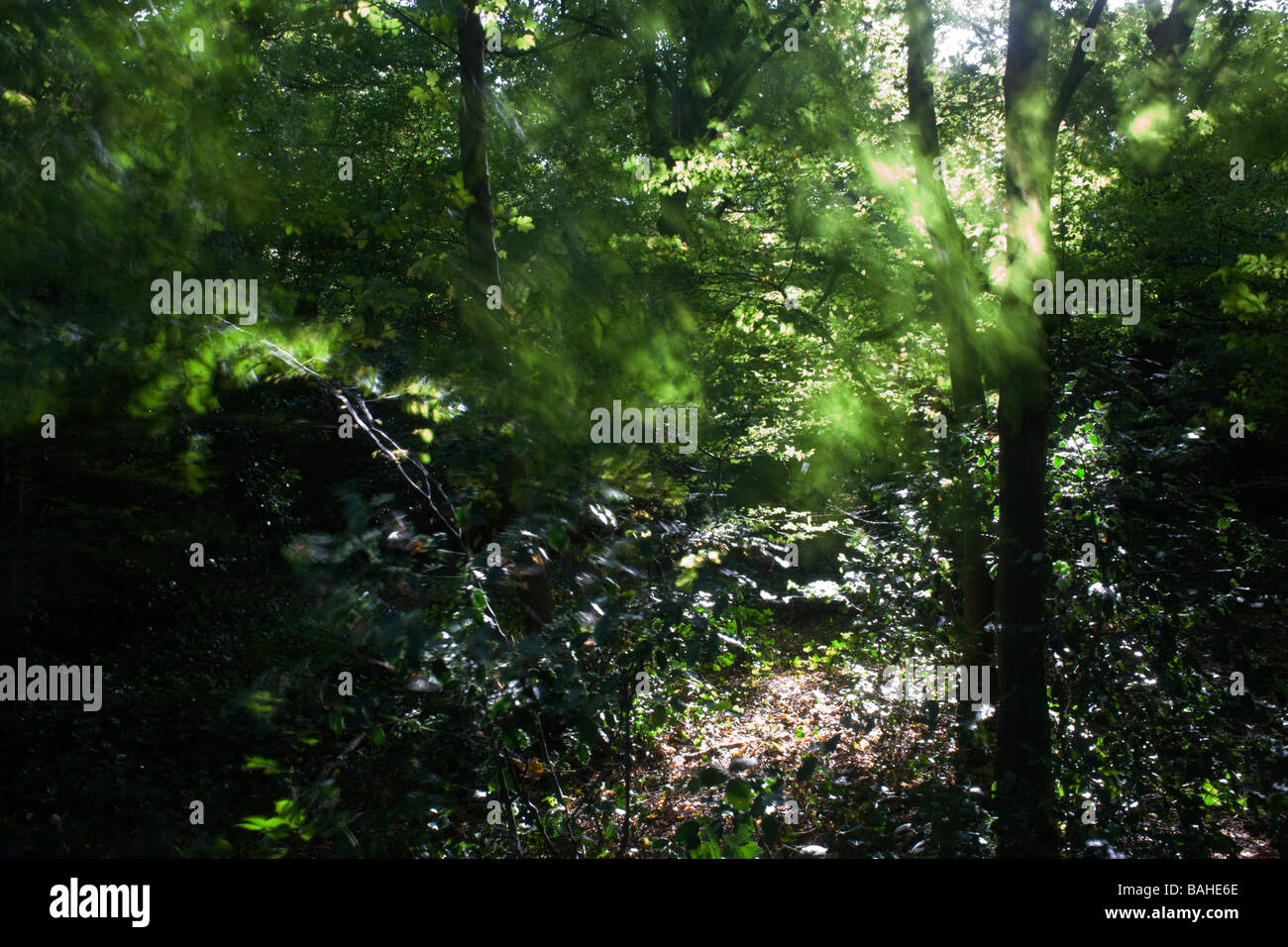 Summer sunlight filters through the old boughs and green foliage of healthy beech trees in the ancient forest of - Stock Image