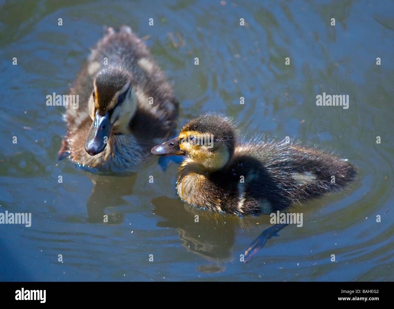 Two Mallard Ducklings (anas platyrhynchos) swimming on a Pond - Stock Image