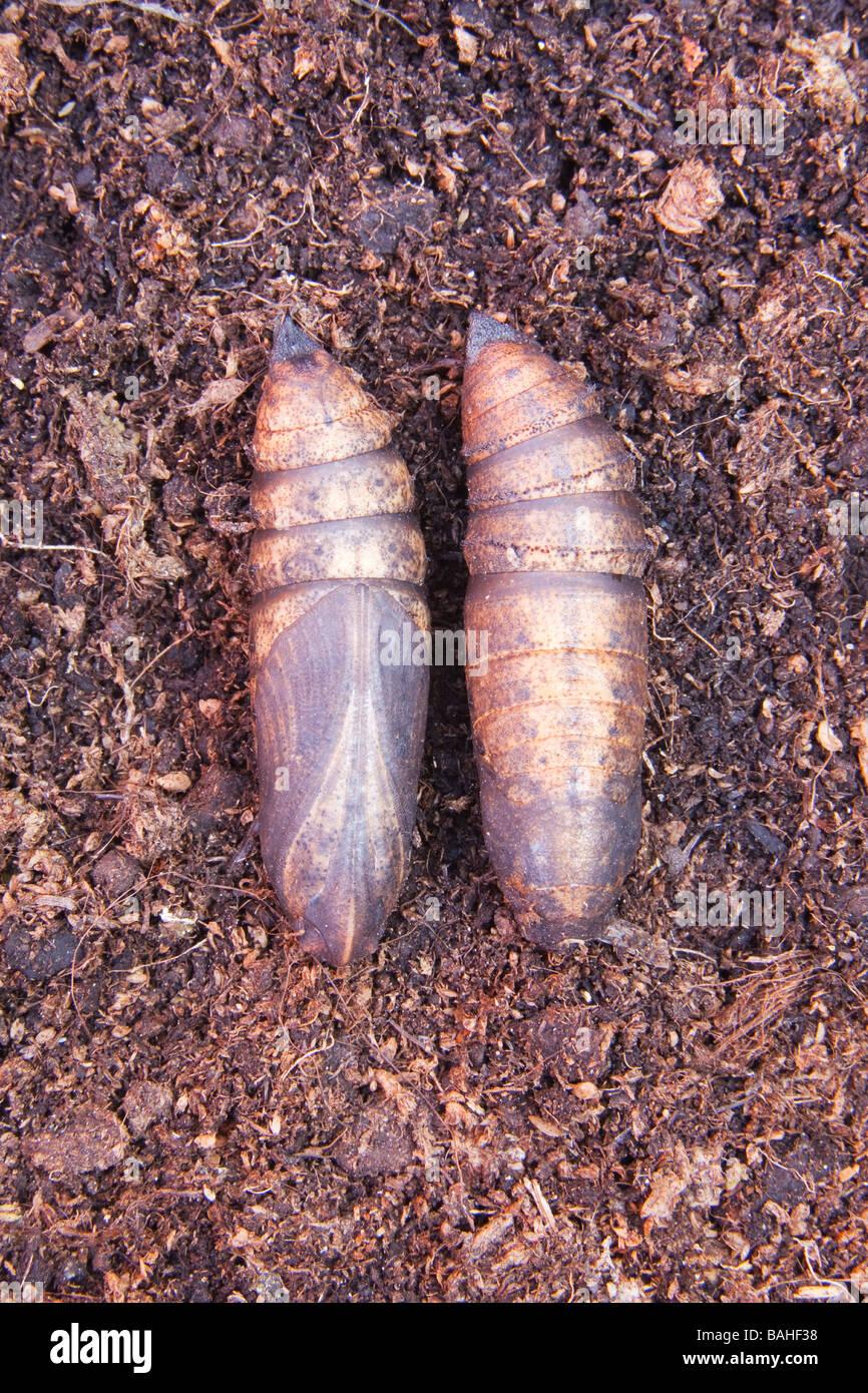 Two Elephant Hawk Moth (deilephila elpenor) pupas - Stock Image