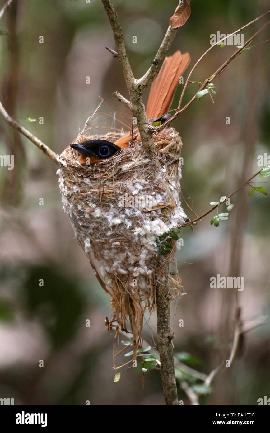 Madagascar Paradise-flycatcher Terpsiphone mutata Sat On Nest In Zombitse - Vohibasia National Park, Madagascar Stock Photo