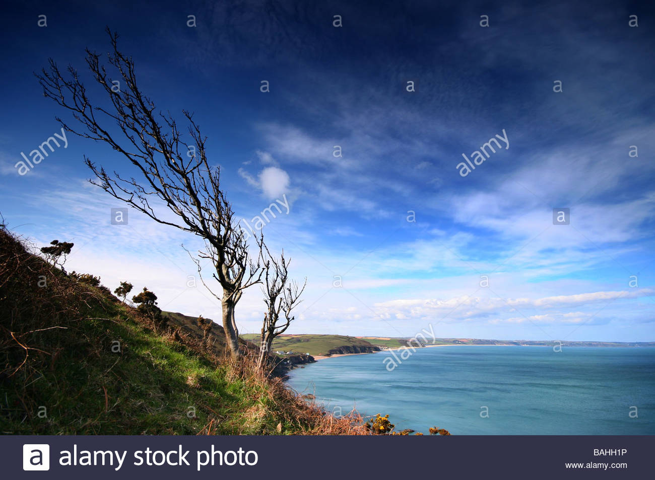A windswept tree of a cliff top overlooking the sweep of Start Bay Devon - Stock Image