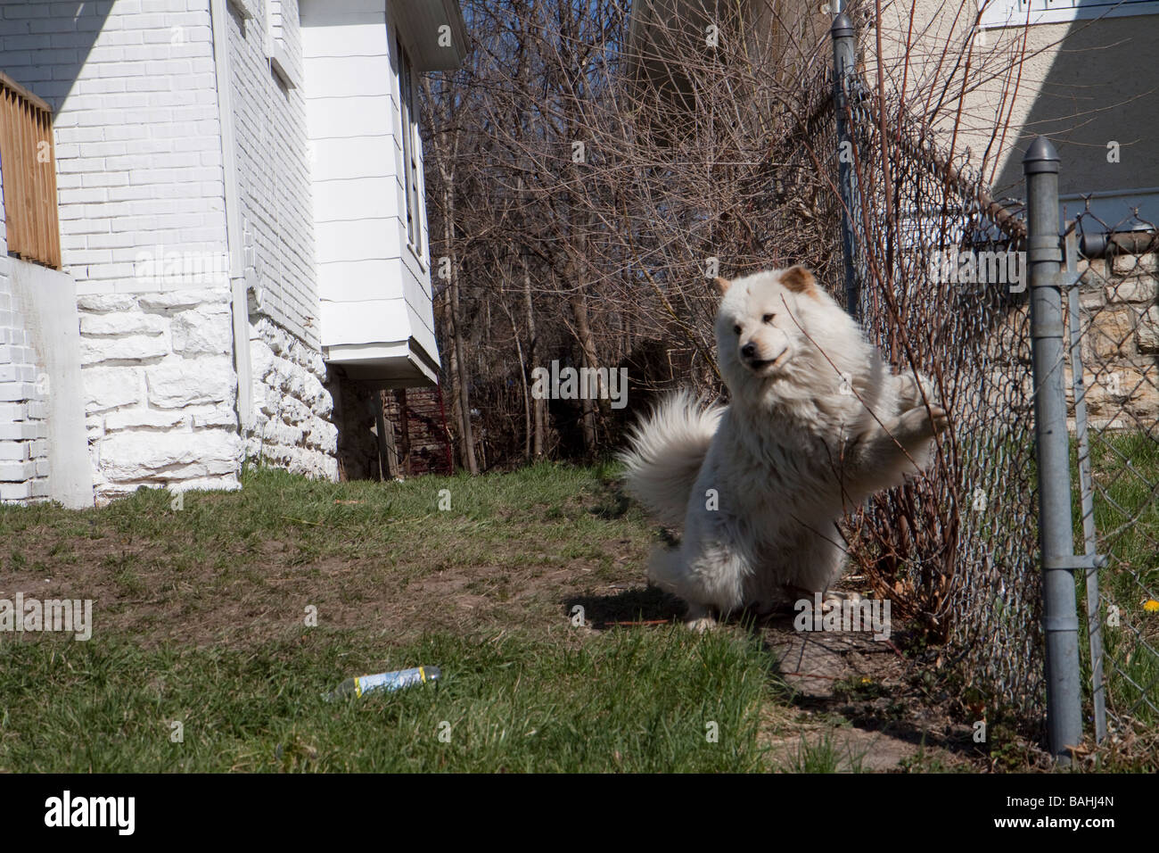 guard dog at heroin dealer's house - Stock Image