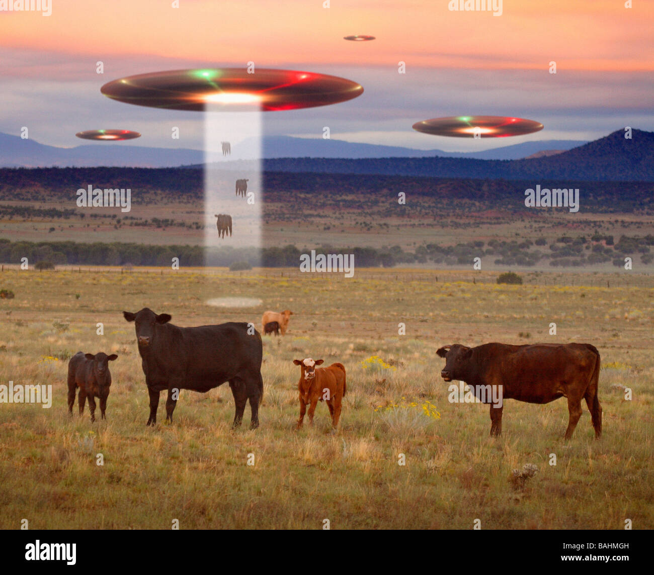 UFOs abducting cows - Stock Image