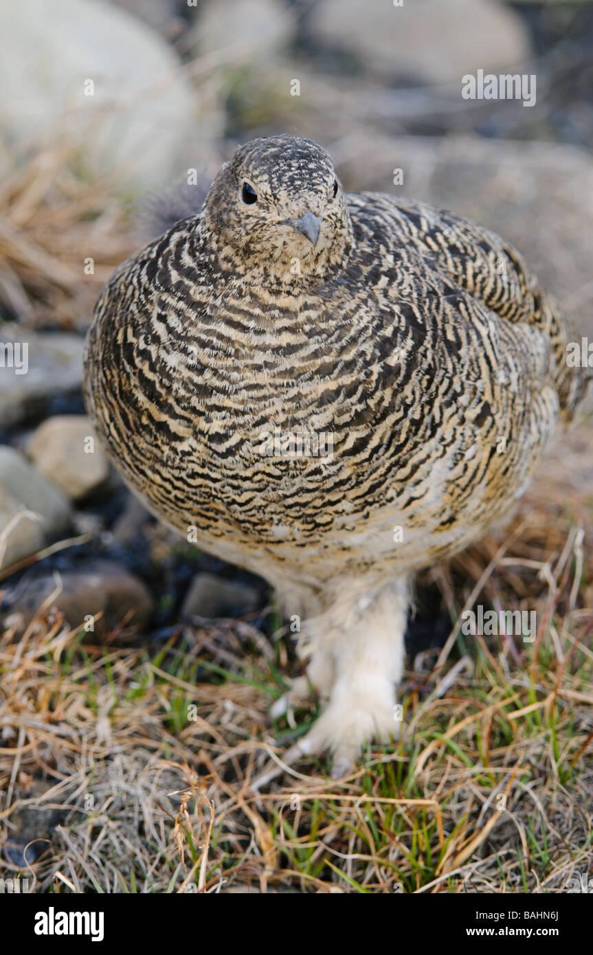 Ptarmigan Lagopus muta female summer feathering at mating time Stock Photo