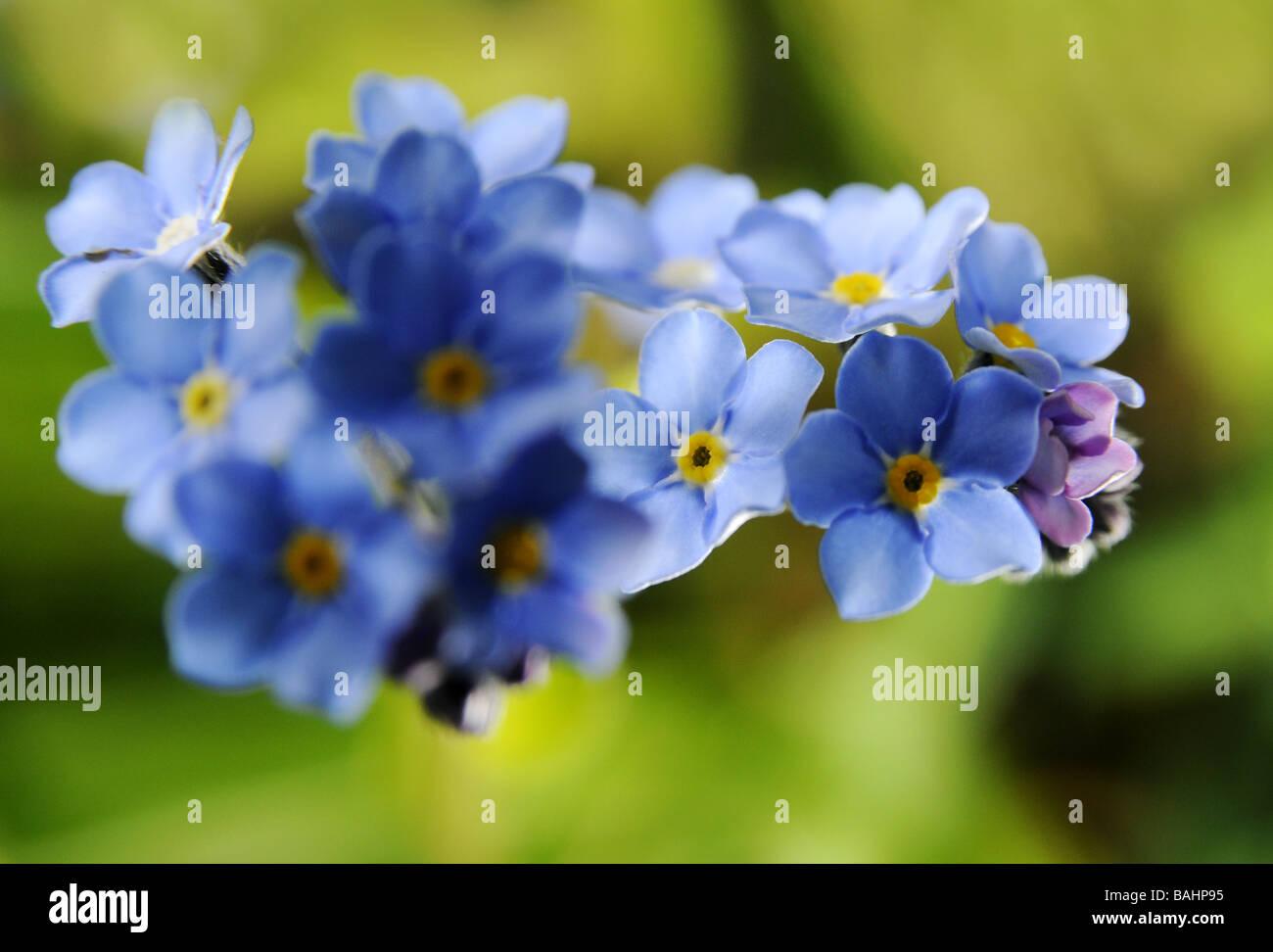 Forget me nots, Myosotis, in flower in Worcestershire garden Stock Photo