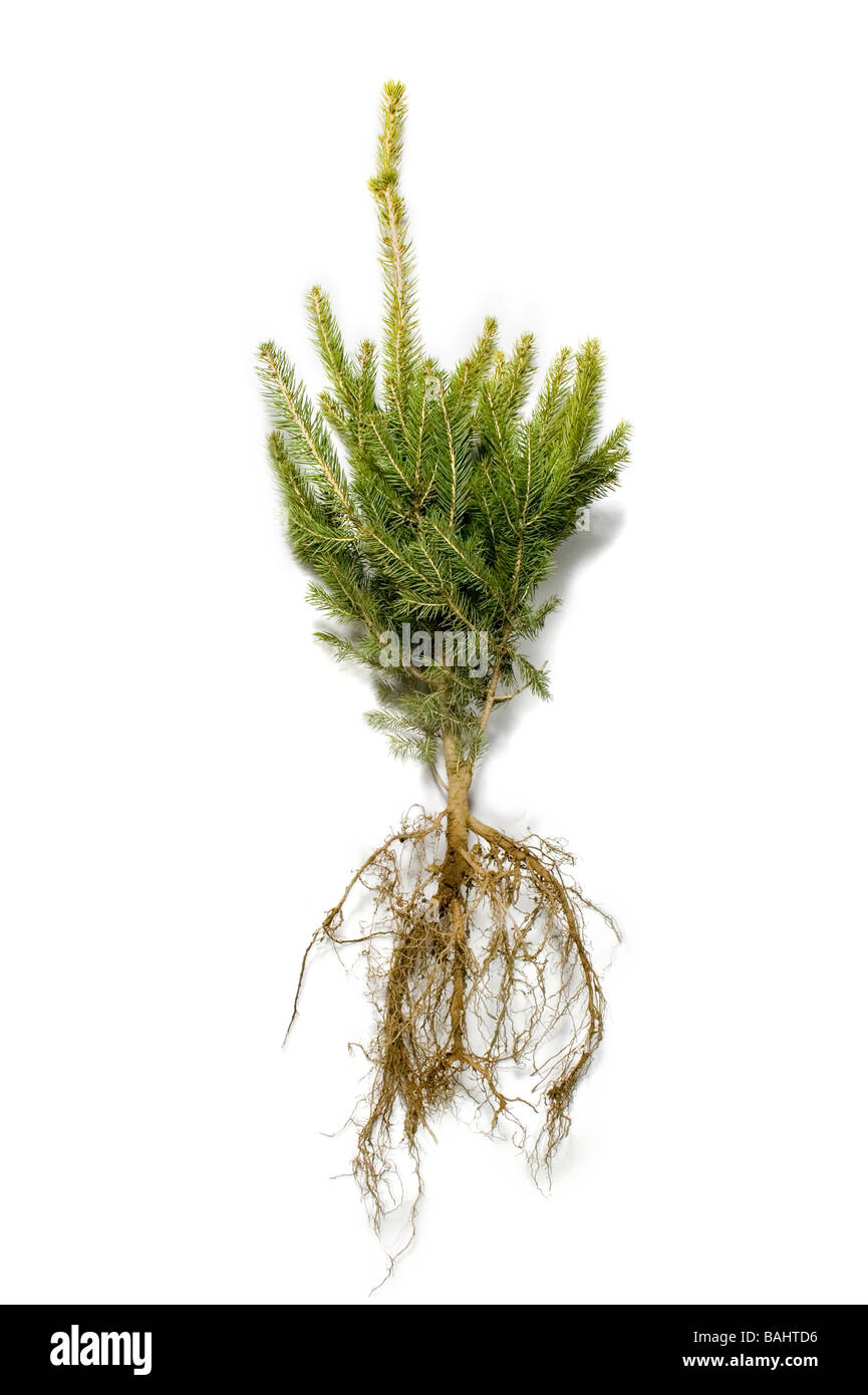 A blue spruce tree with roots exposed on a white background - Stock Image