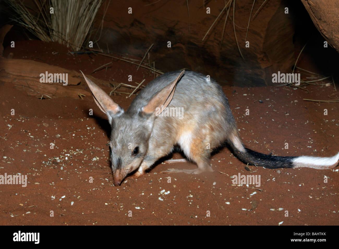 Greater bilby, Macrotis lagotis scavenging at night - Stock Image