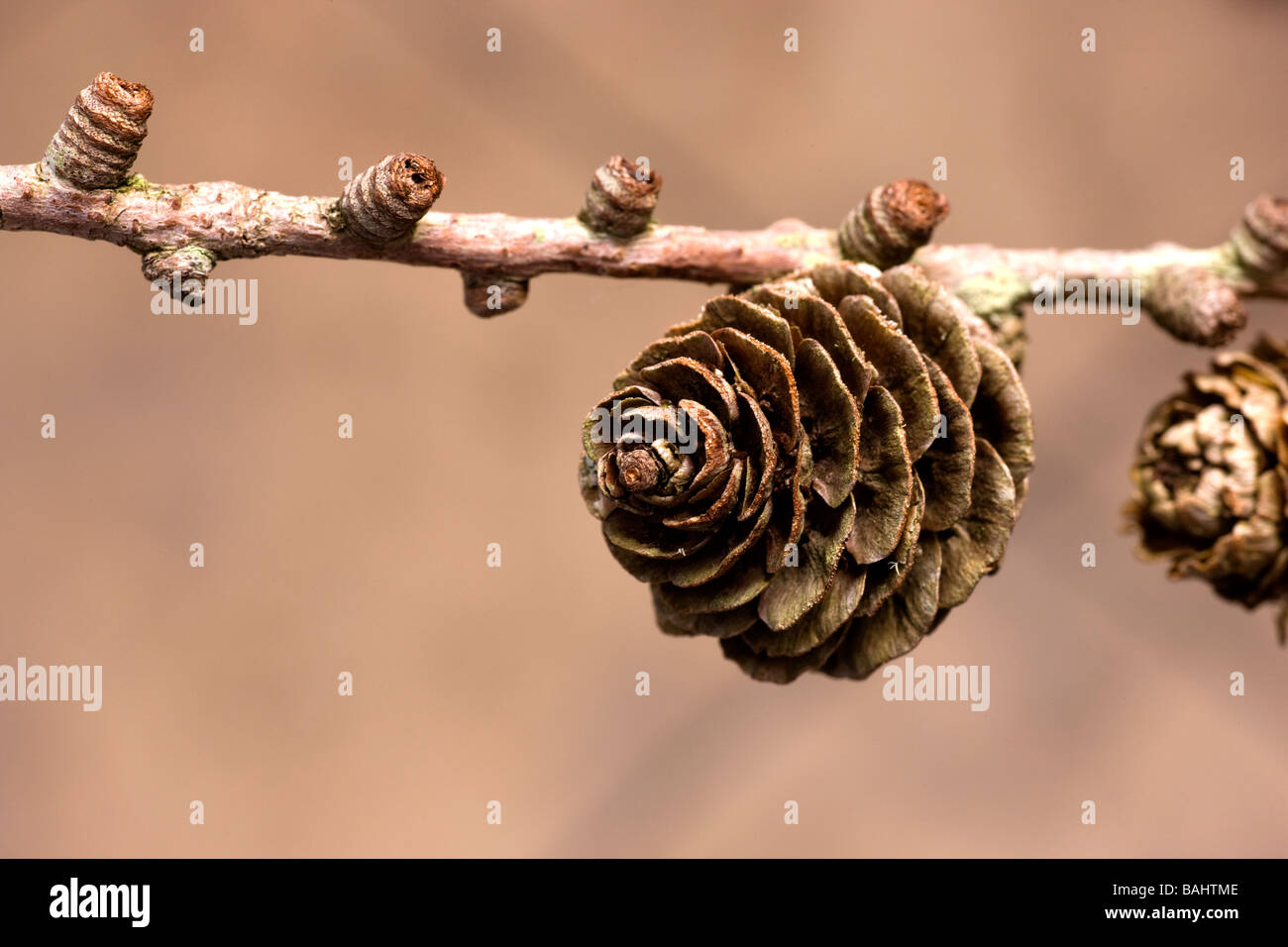A conifer cone on a tree branch - Stock Image